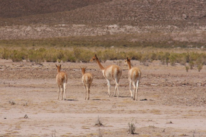 Vicunas in the wild, Bolivian Altiplano, Bolivia
