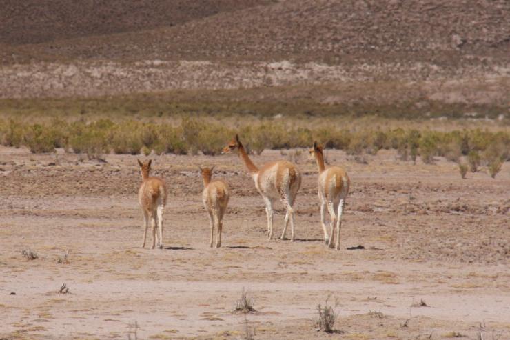 Vicunas in the wild, Bolivian Altiplano, Bolivia