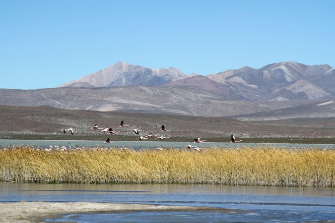 Flamingoes take flight, Altiplano, Bolivia