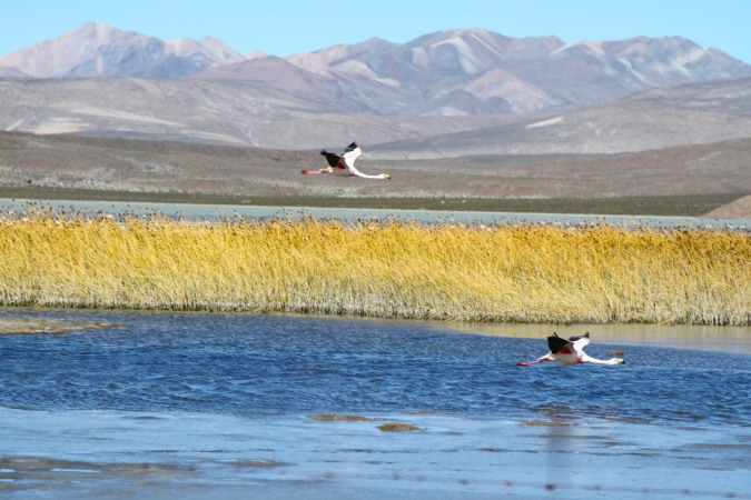 Flamingos take flight in Parque Nacional Sajama, Bolivia