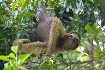 Three-toed Sloth, Bocas del Toro, Panama