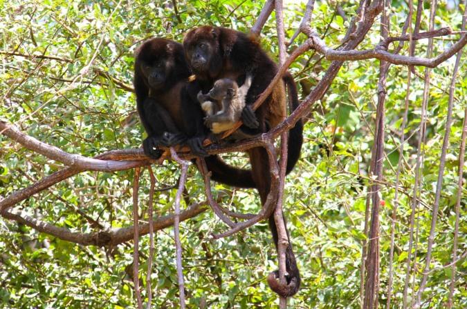 Howler monkeys with a baby, Isla de Ometepe, Nicaragua