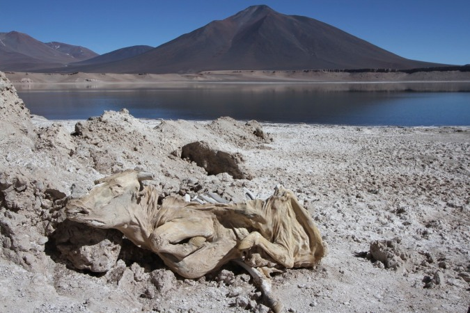 Desiccated cow by the shore of Laguna Verde, Parque Nacional Nevado de Tres Cruces, Chile