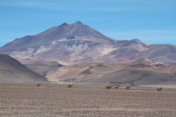 Guanaco roaming freely in the Parque Nacional Nevado de Tres Cruces, Chile