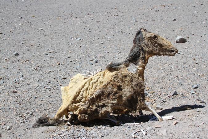 Desiccated horse, Parque Nacional Nevado de Tres Cruces, Chile