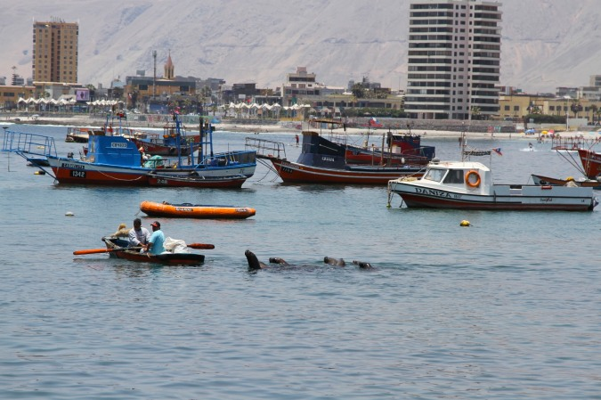 Sea lions follow a boat with fish, Iquique, Chile