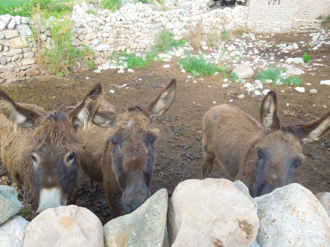 The three wise donkeys, Cayara, Bolivia