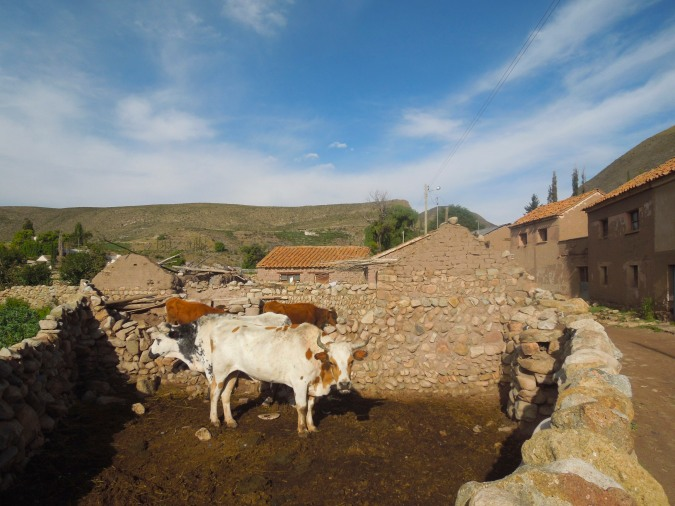 Cows in the village of Cayara, Bolivia