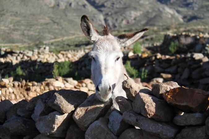 Donkey, Cayara Village, Potosi, Bolivia