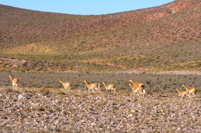 Vicunas near to the Salinas Grandes, Argentina