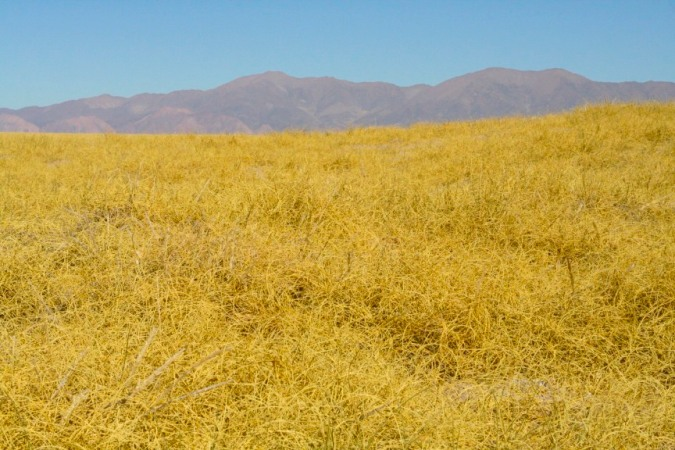 Luminous grass en route to Susques, Argentina