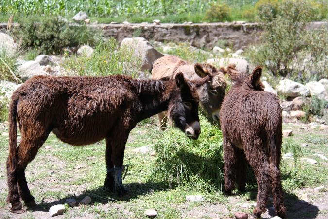 Hairy donkeys en route to the waterfall, Cayara, Bolivia