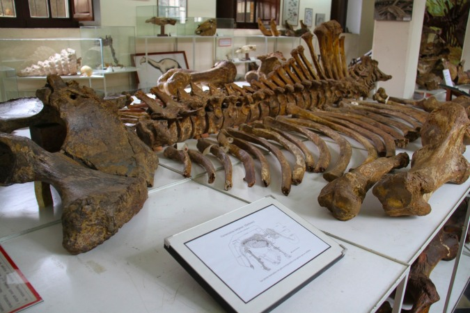 Giant bones of an early elephant, Tarija's Paleontology Museum, Bolivia