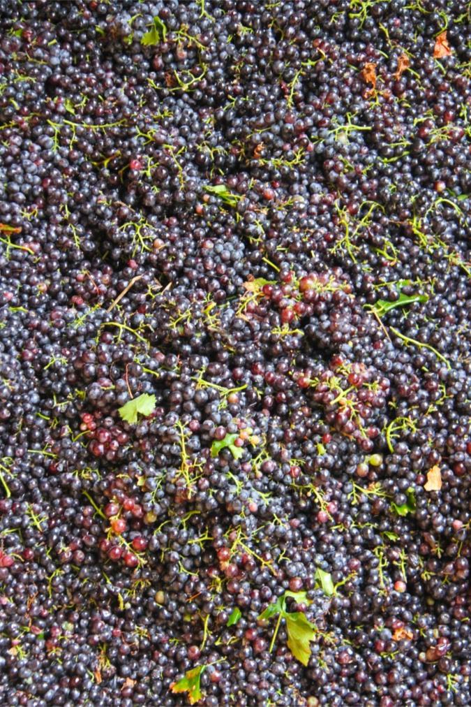 Grapes, Campos de Solana, Tarija, Bolivia