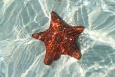 Starfish, San Blas Islands, Panama