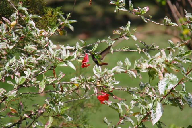 Hummingbird, Isla de San Cristobal, Bocas del Toro, Panama