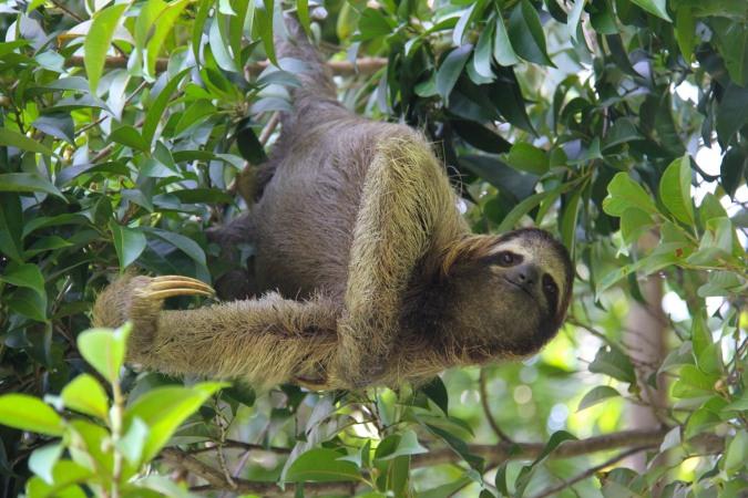 Sloth, Isla de San Cristobal, Bocas del Toro, Panama