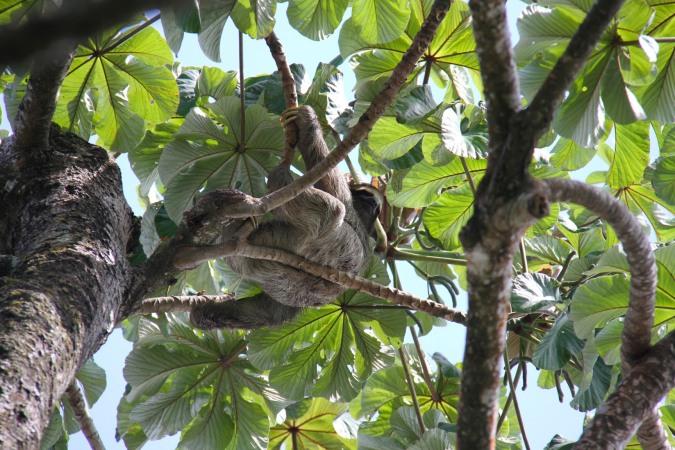 Sloth, Parque Nacional Cahuita, Costa Rica