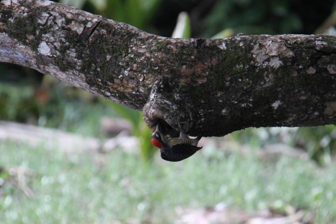 Bird, Parque Nacional Cahuita, Costa Rica