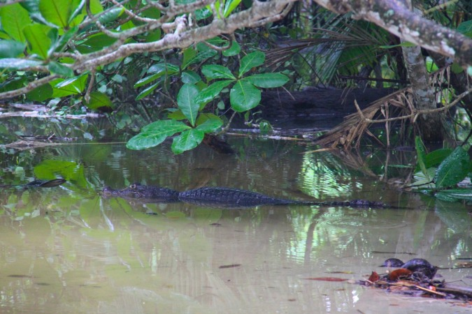 Crocodile, Parque Nacional Cahuita, Costa Rica