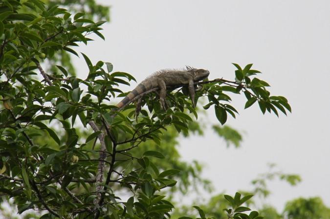 Iguana, Parque Nacional Cahuita, Costa Rica