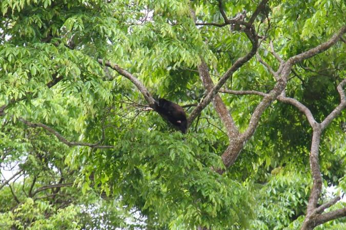 Howler Monkey, Parque Nacional Cahuita, Costa Rica
