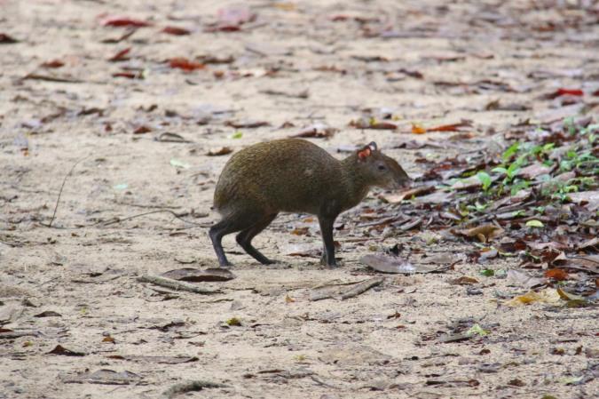 Agouti, Parque Nacional Cahuita, Costa Rica
