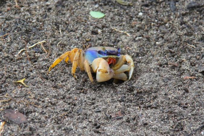 Crab, Parque Nacional Cahuita, Costa Rica