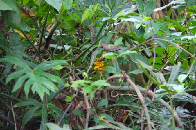 Yellow Eyelash Viper, Parque Nacional Cahuita, Costa Rica