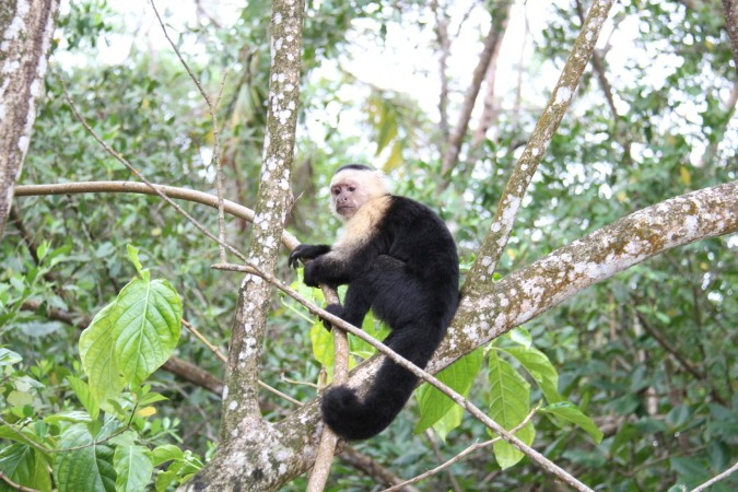 Capuchin monkey, Parque Nacional Cahuita, Costa Rica