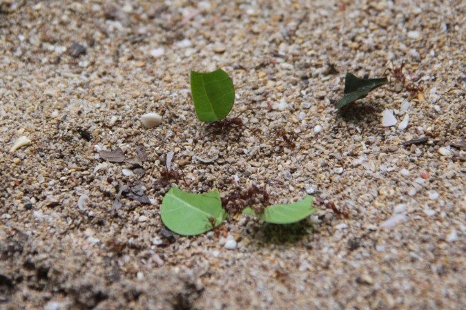 Leaf-cutter ants, Parque Nacional Cahuita, Costa Rica