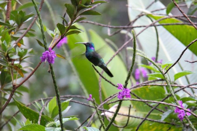 Hummingbird, Reserva de Monteverde, Costa Rica
