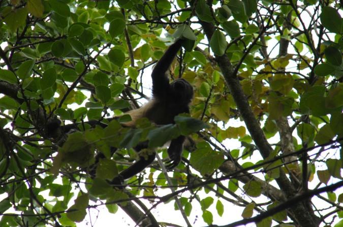Howler Monkey, Reserva de Monteverde, Costa Rica