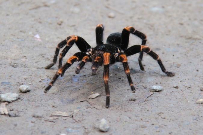 Tarantula, Reserva de Monteverde, Costa Rica