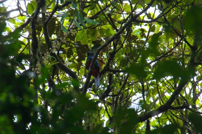 Quetzal, Reserva de Monteverde, Costa Rica