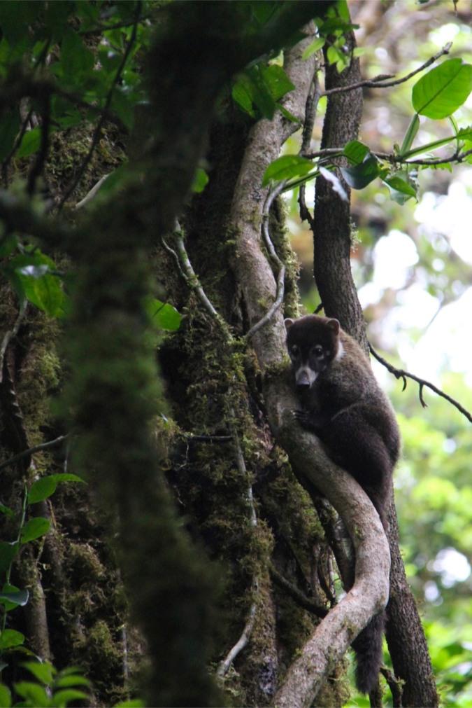 White-faced Coati, Reserva de Monteverde, Costa Rica