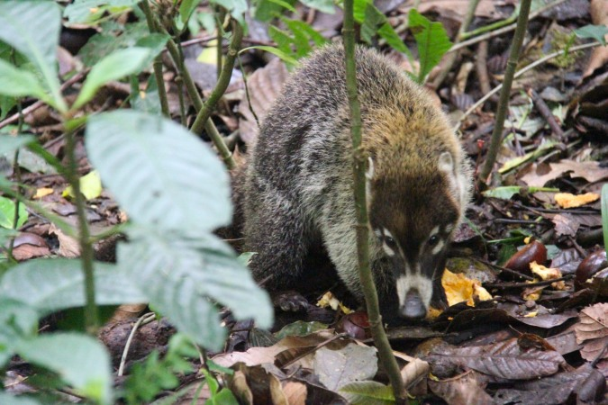 White-faced Coati, Reserva de Monteverde, Costa Rica