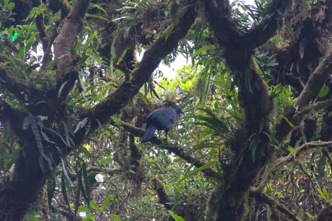 Black Guan, Reserva de Monteverde, Costa Rica