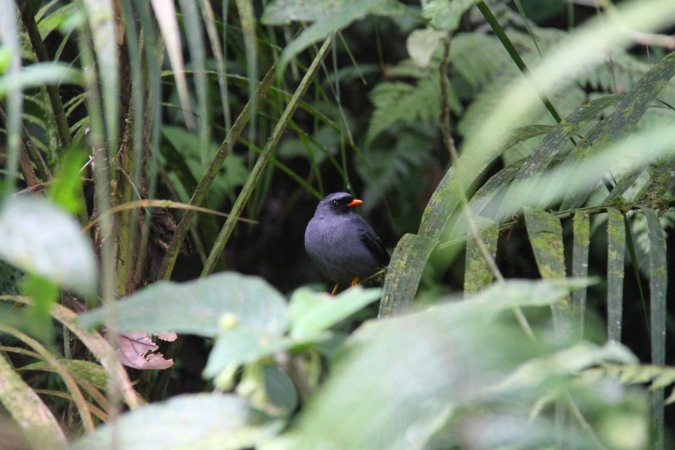 Black-faced Solitaire, Reserva Santa Elena, Monteverde, Costa Rica