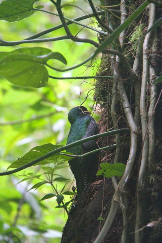 Collard Trogon, Reserva Santa Elena, Monteverde, Costa Rica