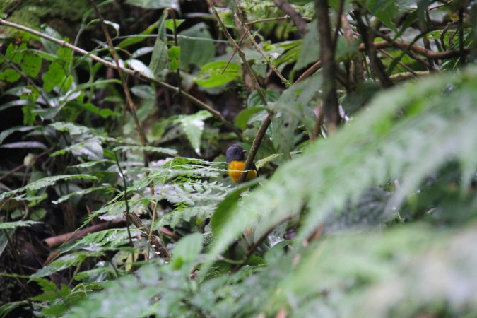 Collard Redstart Reserva de Monteverde, Costa Rica