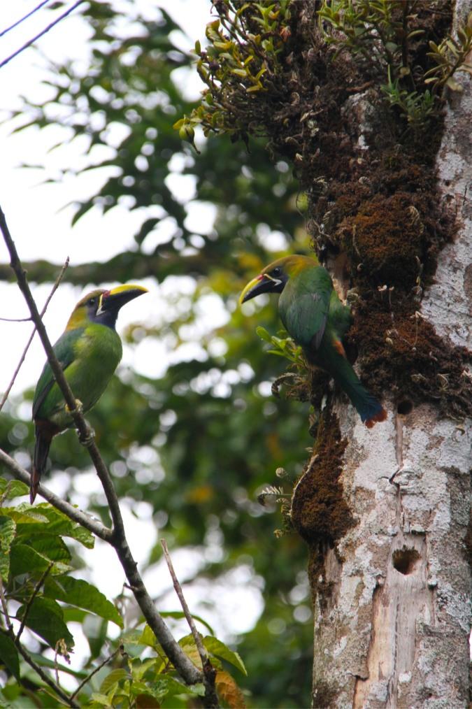 Emerald toucanet, Reserva de Monteverde, Costa Rica