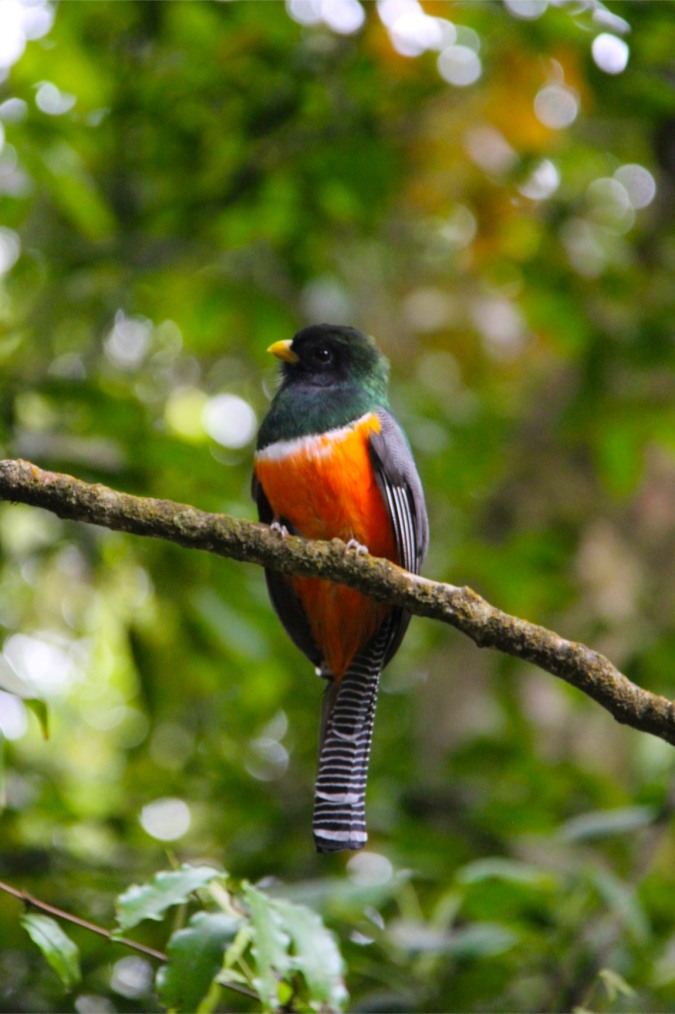 Orange-bellied Trogon, Reserva de Monteverde, Costa Rica