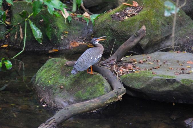 Sunbittern, Reserva de Monteverde, Costa Rica