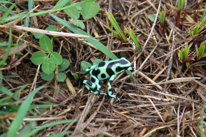 Green Dart Poison Frog, Reserva de Monteverde, Costa Rica