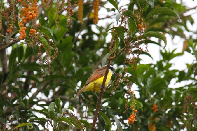 Great Kiskadee, Reserva de Monteverde, Costa Rica