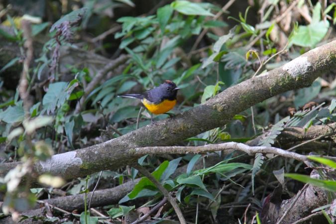 Tawny-capped Euphonia, Reserva Santa Elena, Monteverde, Costa Rica
