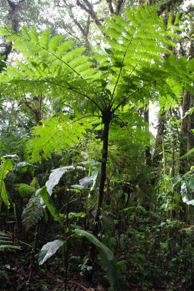Ancient Fern, Reserva Santa Elena, Monteverde, Costa Rica