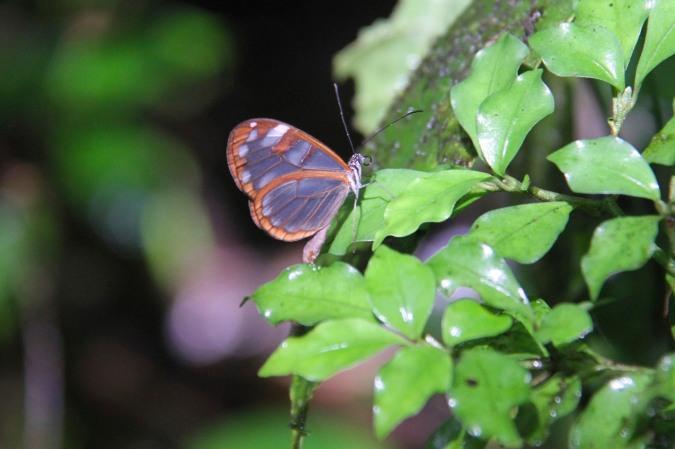 Transparent butterfly, Reserva Santa Elena, Monteverde, Costa Rica