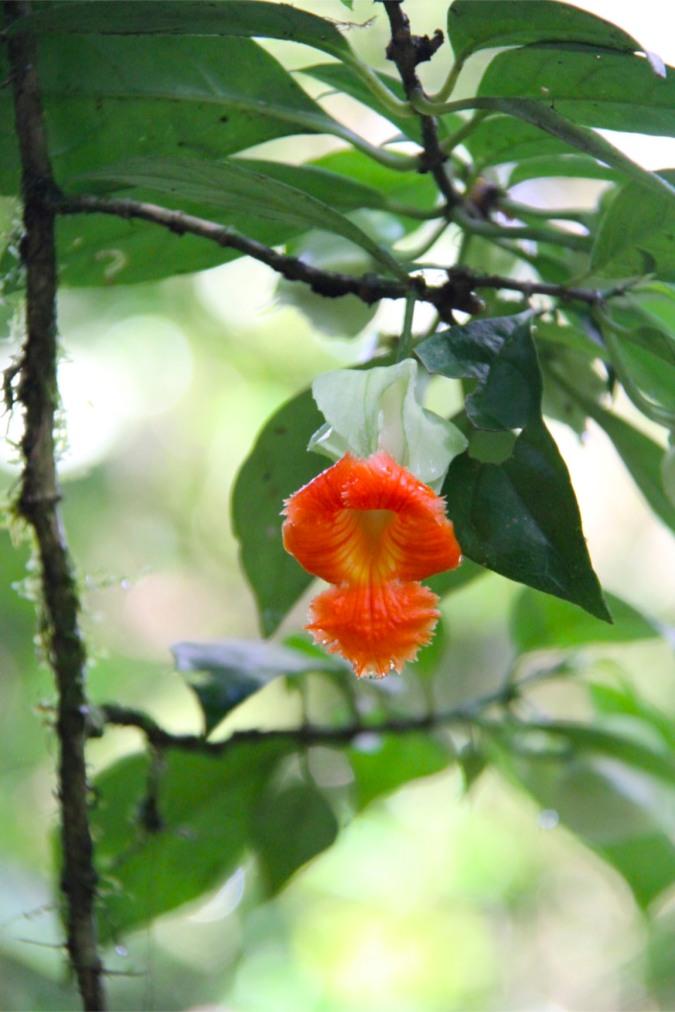 Orchid, Reserva Santa Elena, Monteverde, Costa Rica